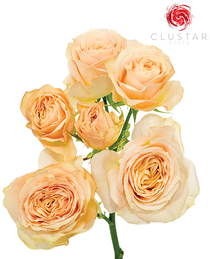 Clustar Rose Collection
